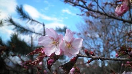 6 5月5日   ようやく開花 - コピー.JPG